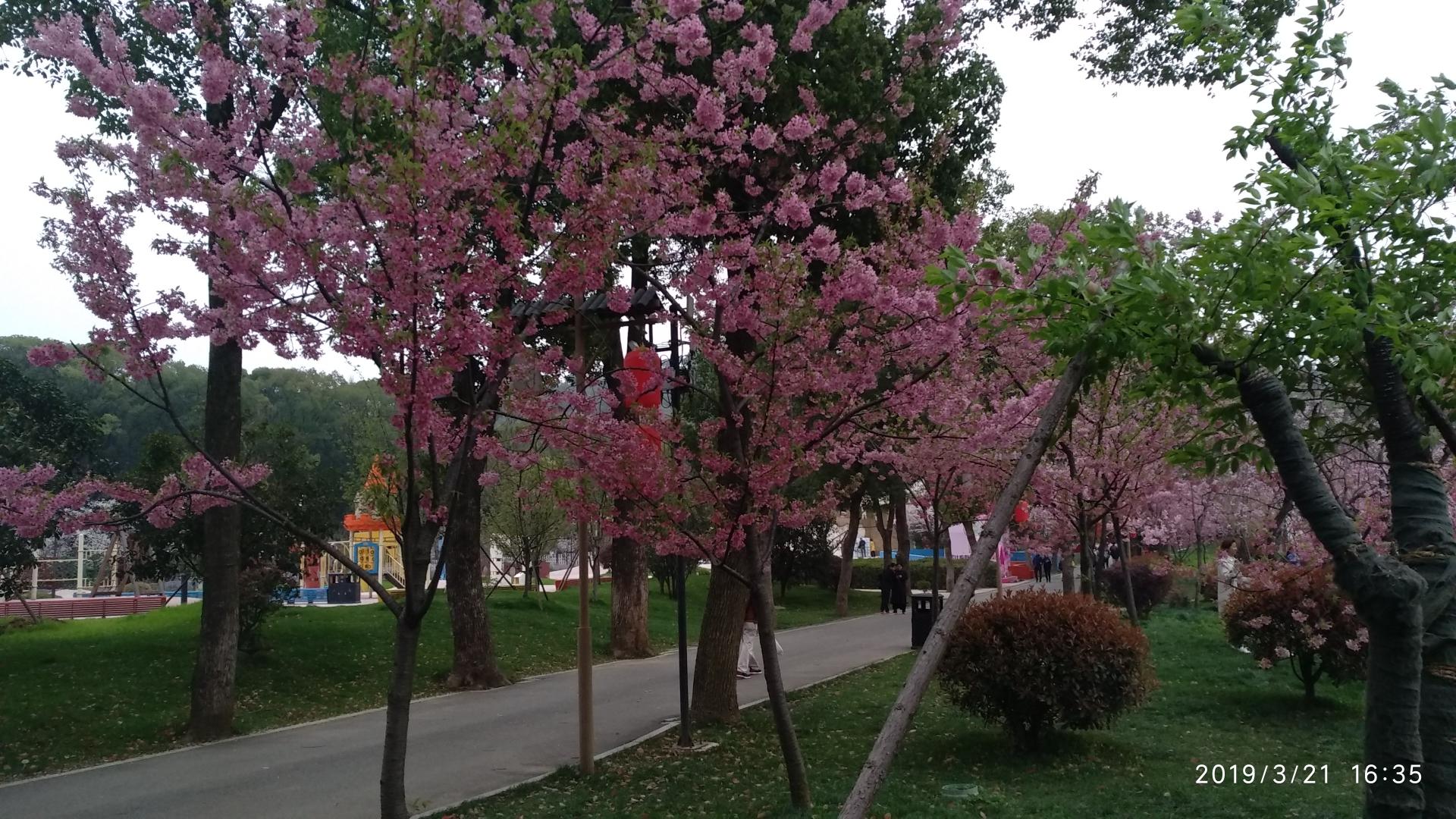 东湖《樱花》盛开了!